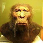 Paranthropus boisei, foto gemaakt door Lillyundfreya in het Westfälisches Museum für Archäologie, Herne